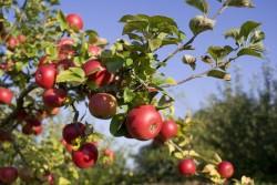 Ешьте яблоки